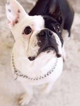 学习了解法国斗牛犬的外形及个性特征